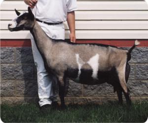 boje alpske koze