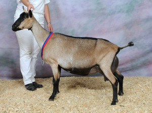 varijanta boje alpske koze