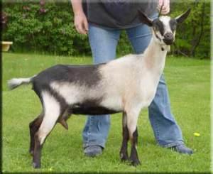 boja za alpske koze