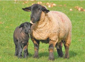 Safolk ovce kako izgleda