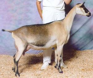 varijacija boje kod alpske koze