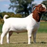 Burska koza