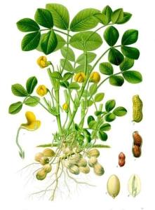 Kako izgleda biljka kikiriki