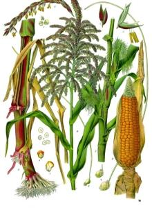 Kako izgleda kukuruz