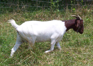 ukštena burska koza