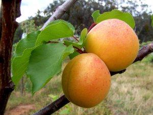 Kako izgleda plod kajsije