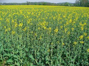 izgled polja zasejanog uljanom repicom