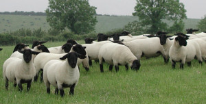 gajenje saflok ovaca