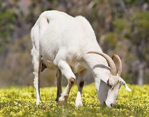 sanska koza