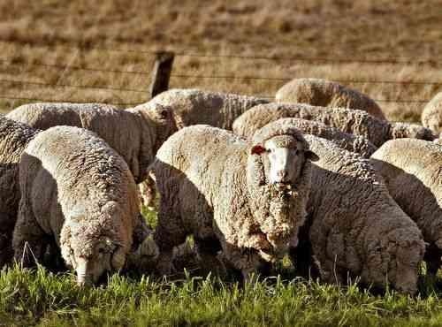 meriono ovce
