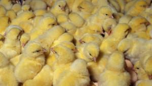 kokošiji pilići