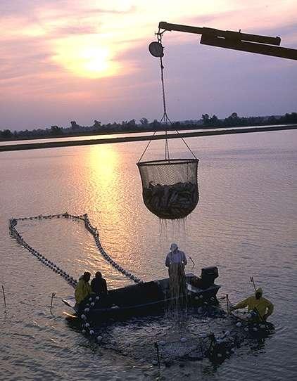 vađenje ribe na ribnjaku