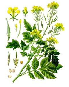 izgled biljke bela slacica