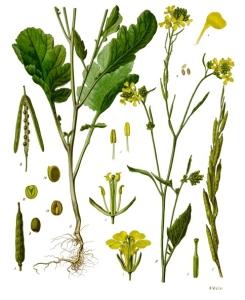 crna slacica izgled biljke