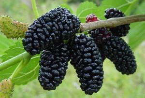 plodovi crnog duda