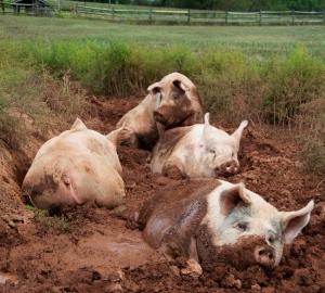 slobodno gajenje svinja
