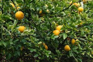 drvo sibirskog limuna
