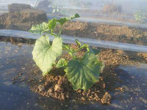 biljka dinja mlada