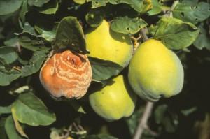 monilija na dunji - plodu dunje