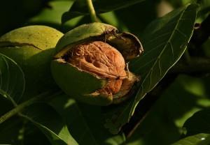 plod oraha na stablu