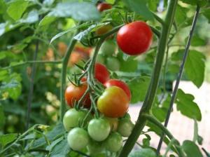 sazrevanje plodova paradajza