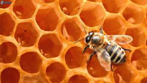 saće sa medom