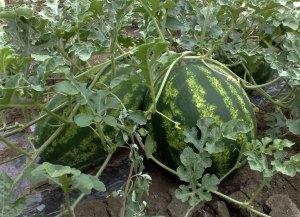 lubenice u polju