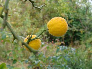 žuti plod sibirskog limuna