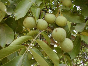plodovi oraha u grupi