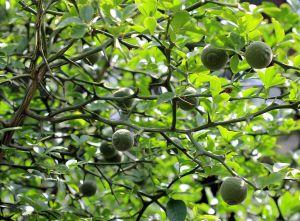 listovi i granje sibirskog limuna
