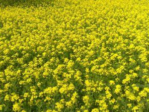 slačica u polju