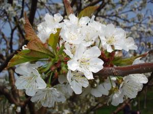 cvetovi trešnje