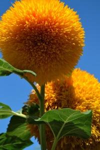 ukrasni suncokret žute boje