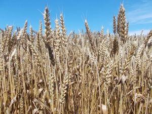 kako izgleda zrela pšenica