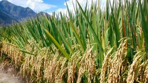 pirinač zreo na polju