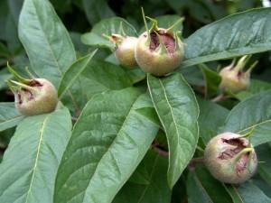 plodovi musmule