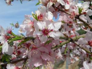 kako izgledaju cvetovi badema