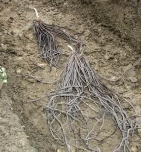 prikaz korena špargle na njivi