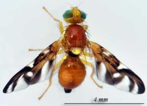 celerova muva