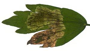 oštećen list celera