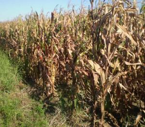 kako izgleda crvenilo kukuruza