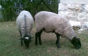 na ispaši romanovske ovce