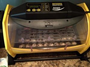 Inkubator za japanske prepelice