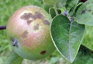 čađavost na plodu jabuke