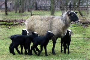 dva jagnjeta i ovca