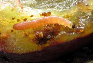 larva u šljivi