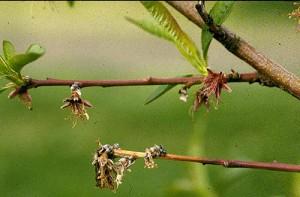 breskvini cvetovi zaraženi monilijom