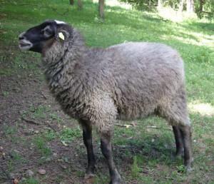 romanova ovca stara 160 dana