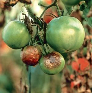 plamenjača paradajza
