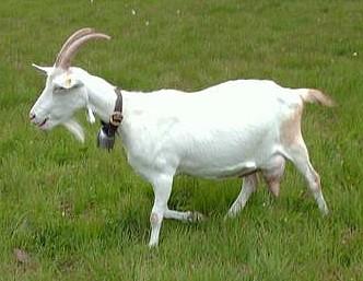 sanska koza na livadi